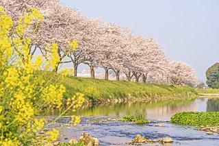 2020年の桜に逢いたい♪ 九州のさくら名所3選