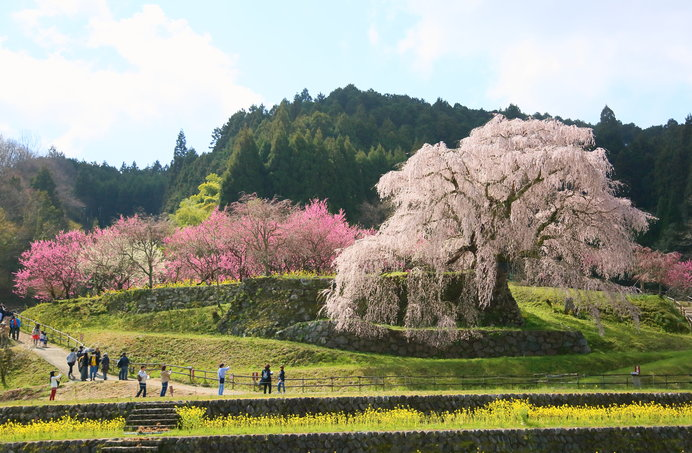 又兵衛桜(奈良県)