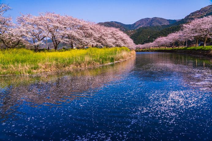 那賀川沿いの桜並木(静岡県)
