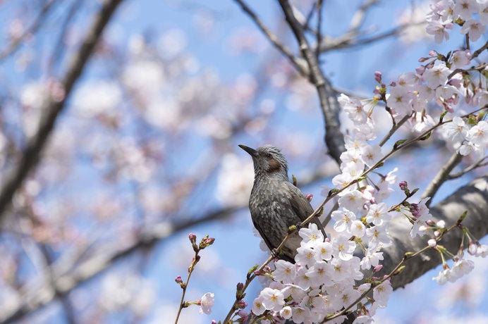 桜にひよどり