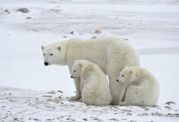 極寒の北極圏で懸命に生き抜くホッキョクグマの親子