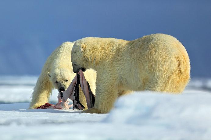 ハイカロリーの大型海洋哺乳類を捕食して巨体を維持します