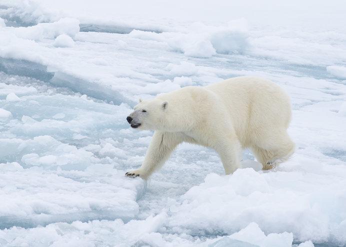 北極海の海氷の上が彼らのふるさと。ここ以外に生きる場はありません