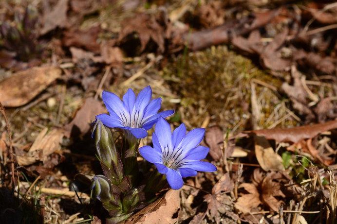 早春の枯れ野を他の花に先駆けて彩る小さな花・ハルリンドウ