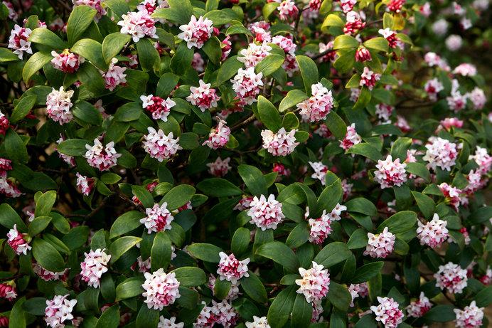 三大香木のひとつ沈丁花