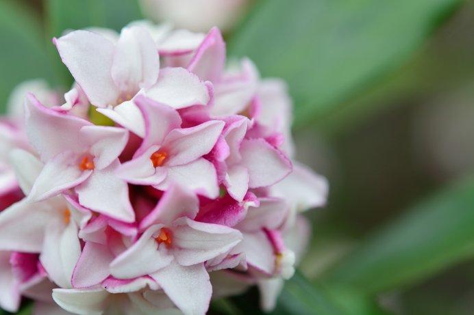 妖精ダフネの名に恥じない高い香りと愛らしい花姿