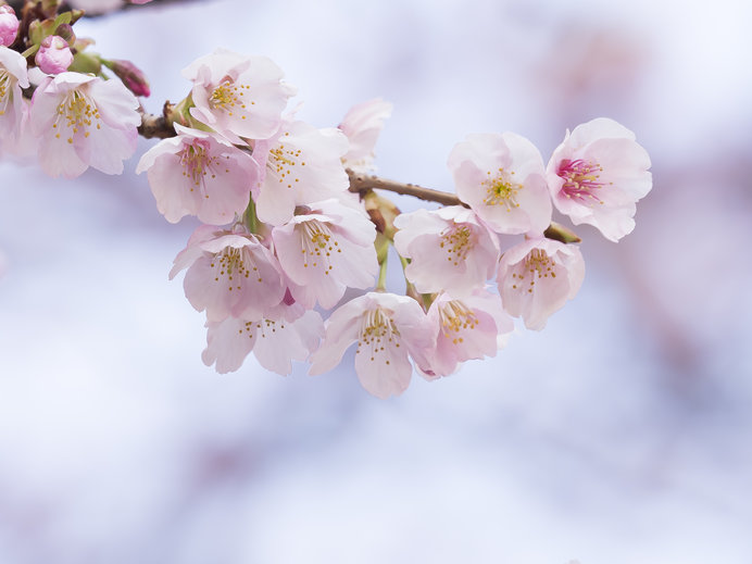 日本の美のエッセンス、その出発点とは?-「古今和歌集」の桜-