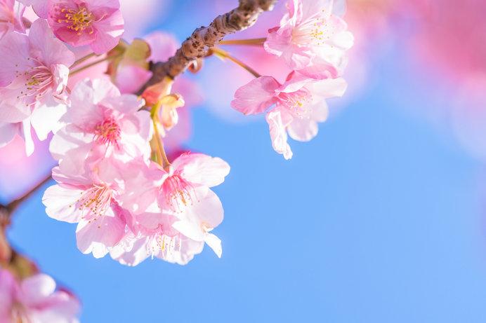 河津桜はあちらこちらで咲き始めています