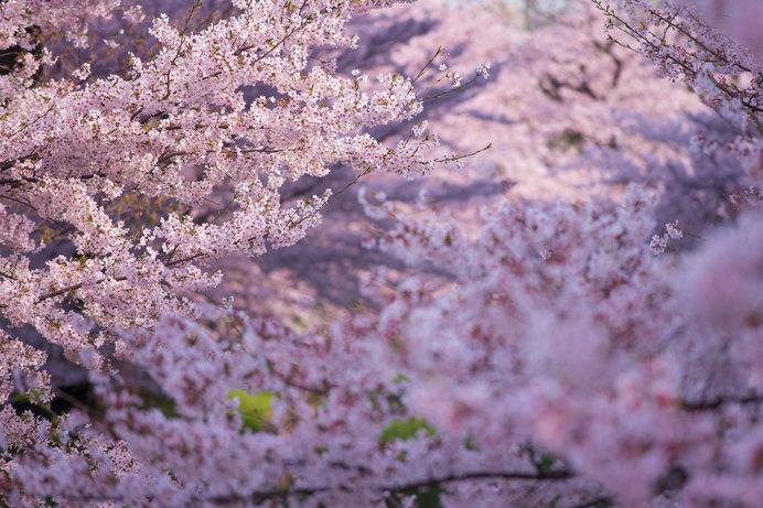 日本の美のエッセンス、花見文化のはじまりは?-「古今和歌集」の後の桜-