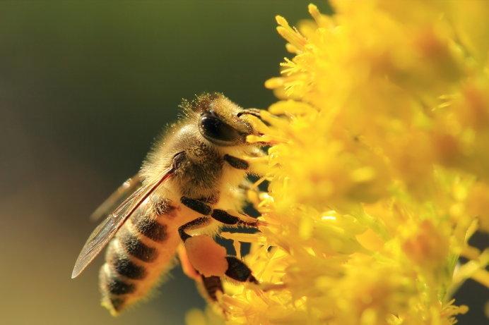 花粉籠に花粉団子をつけています