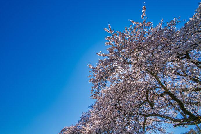 日本の美のエッセンス、完結編。桜を詠んだ歌-「新古今和歌集」の桜へ-