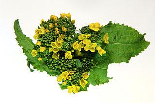 菜の花が満開!春を明るく彩る菜の花を、身近で楽しむ方法