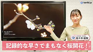 【動画で解説】明日13日に東京で開花か? まもなく桜前線スタート! 記録的な早さで桜開花