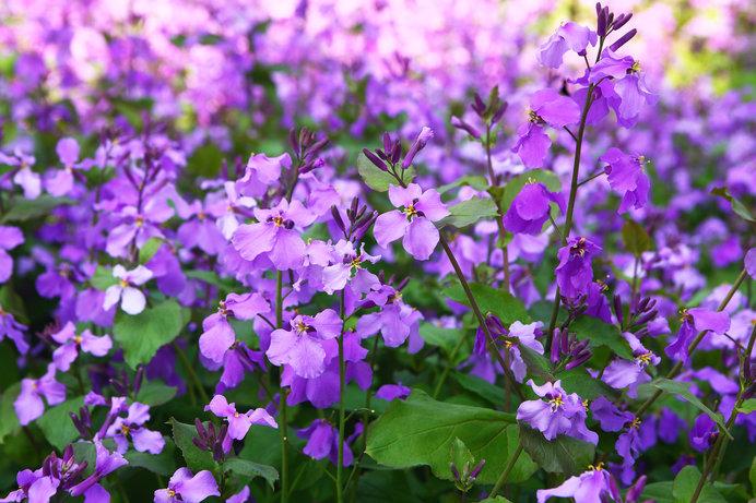 黄色の花が多いアブラナ科でありながら鮮やかな紫色をしています