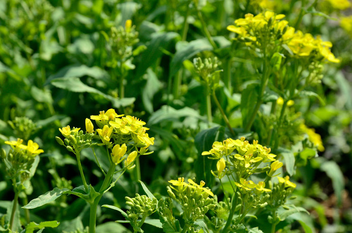 カブの花。これをかつては諸葛菜とも言いました