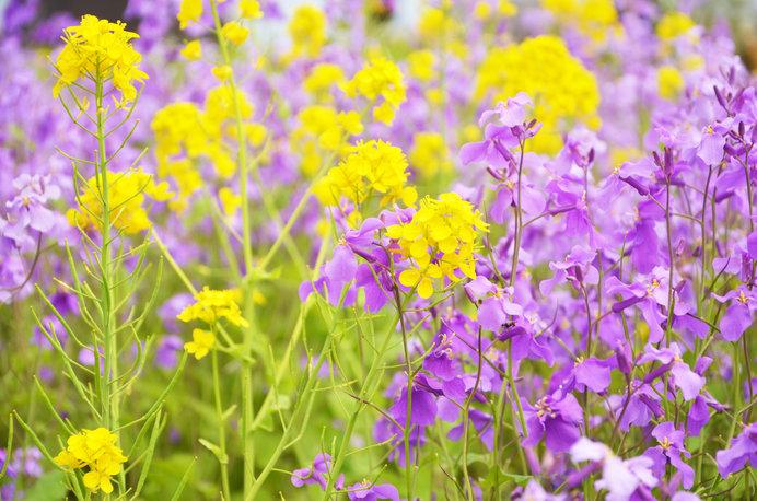 同じアブラナ科の菜の花と競演。平和であたたかい景観です