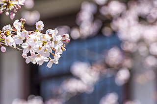 桜の開花はどう決まる?生物季節観測から季節の変化を読み取ろう
