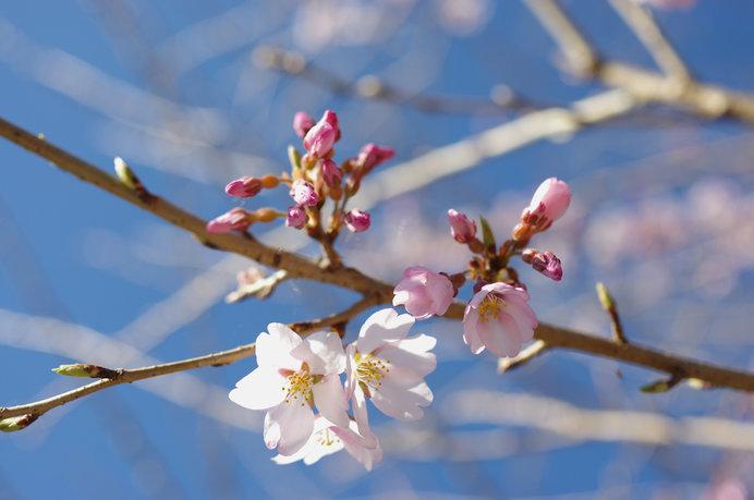 桜は標本木に5〜6輪以上咲くことが開花条件になります