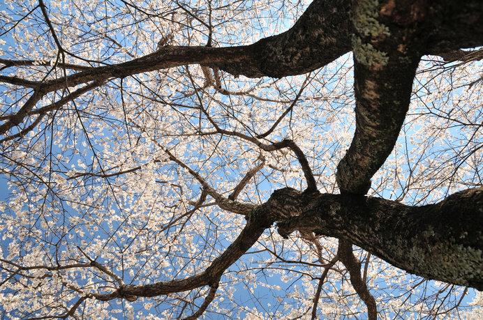 桜の樹の下には…「檸檬忌」は梶井基次郎を偲ぶのに最適な著作
