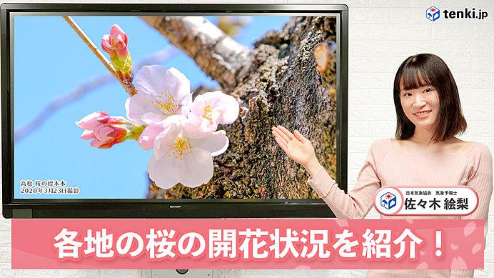 【動画で解説】北陸、信越、東北で記録的な早い開花に! 各地の桜の開花状況を紹介