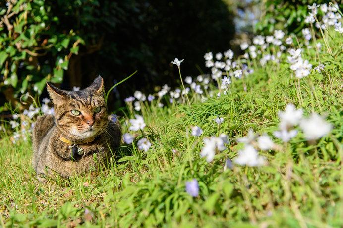 ハナニラと日向ぼっこの猫