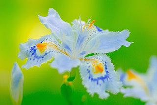 林下に花開く胡蝶の化身「シャガ」。その不思議な名前の由来とは?