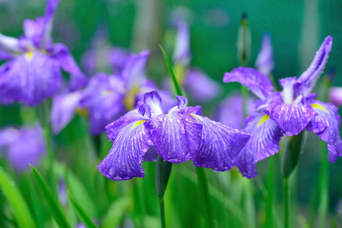 ハナショウブやアヤメが美しい花を咲かせる季節。さてショウブは?