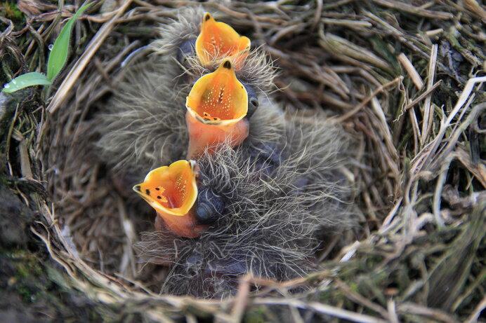 草むらでヒバリの巣を見つけても、どうかそっとしておいてください