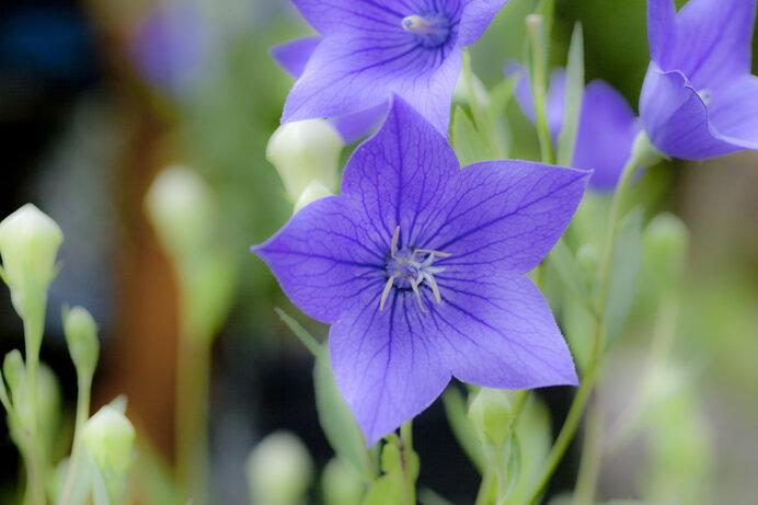 夏に咲く花を楽しもう!ききょう、ユリ、ペチュニア、ラベンダー〜近畿のお花畑〜