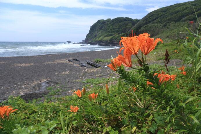 磯辺の厳しい環境で力強く咲くスカシユリ。強健さと端正な花姿です