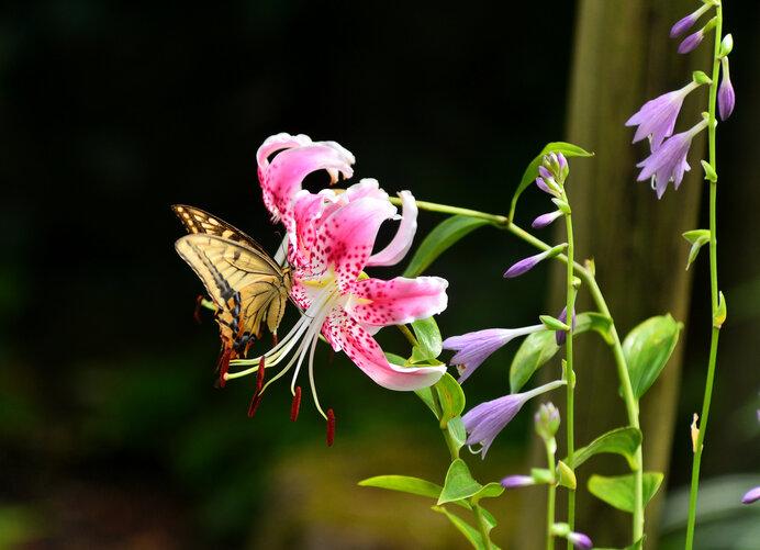 この美しいカノコユリも、ほとんどの地域で絶滅しています
