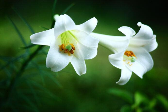 ヨーロッパ人を魅了した純白のテッポウユリ