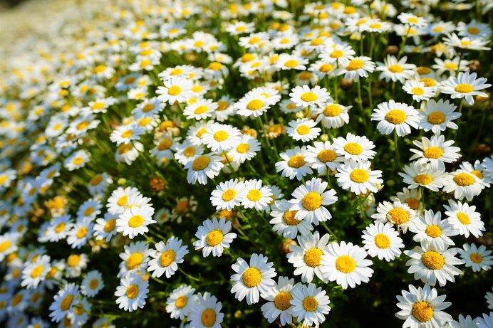 除虫菊。和名は「シロバナムシヨケギク」