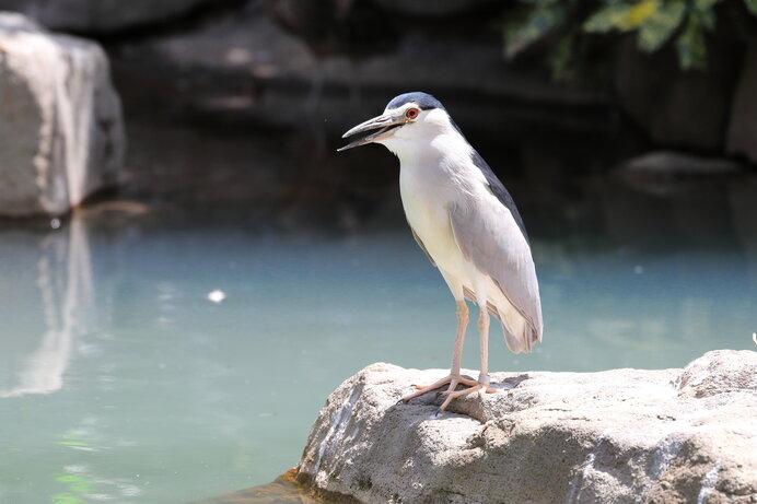 ペンギンにも似た愛嬌のあるゴイサギ。でも五位光を発する不思議な鳥とも言われます