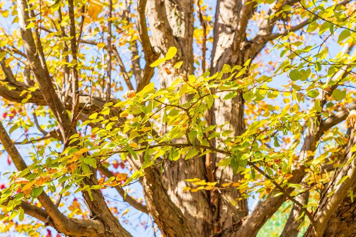 桂は、他の落葉樹に先駆けて黄葉します