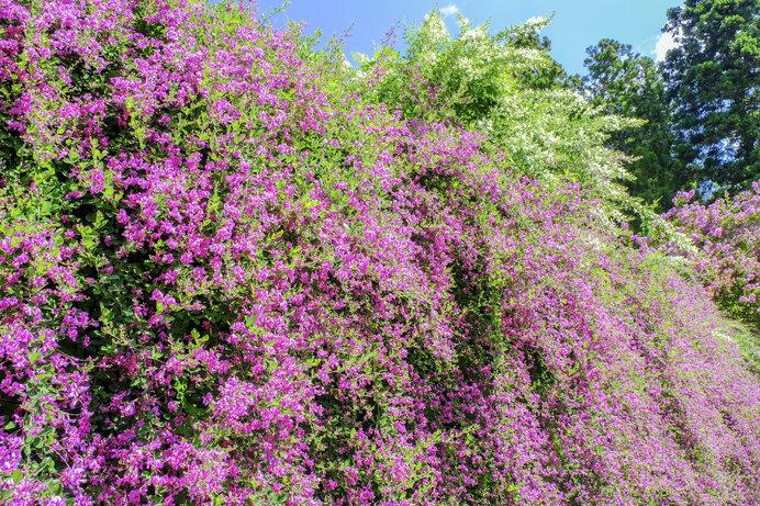 「秋の七草」の筆頭となるほど愛されてきた萩。荒地を引き締め、つなぐように咲きそろいます