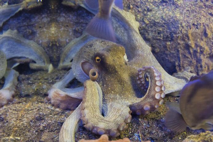 海の賢者、タコの知性と能力がすごすぎる!8月8日は「タコの日」