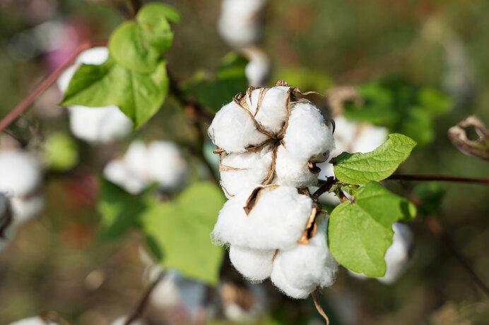 綿の実が弾けて現れた綿花