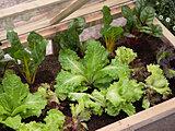 秋からはじめるベランダ菜園!ビギナーも育てやすい、便利な葉野菜とは?