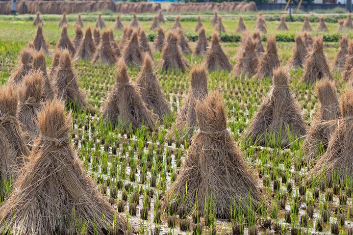 脱穀後の稲藁を集めた藁におと稲の切り株から伸びた青い芽