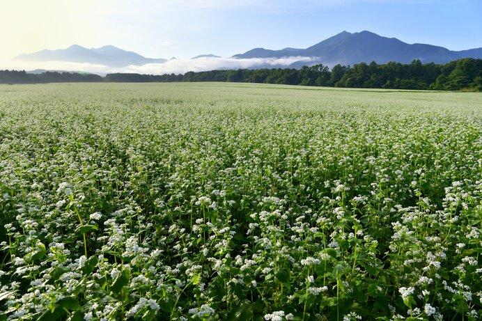 那須高原のソバ畑。これも秋の風物詩です