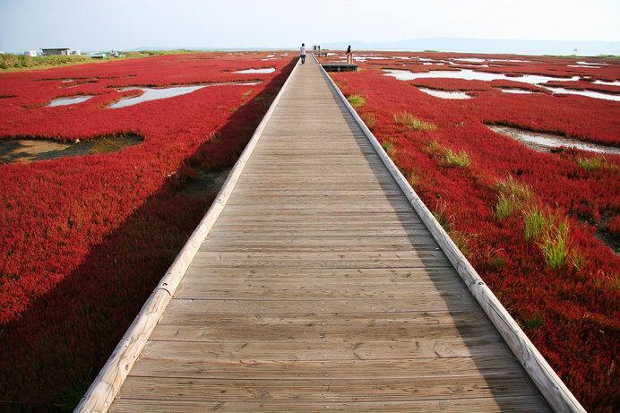 能取湖の遊歩道。一面のサンゴソウの中ほどまで歩くことができます。