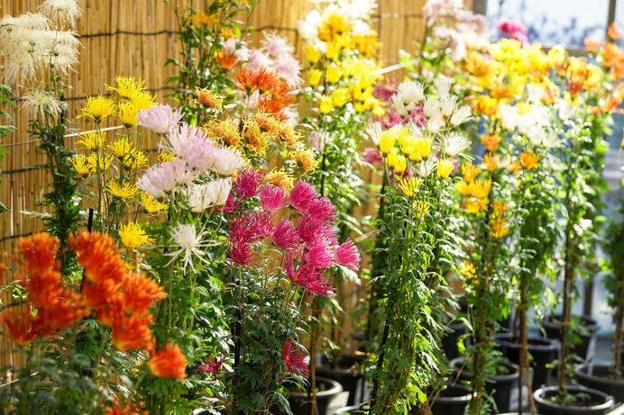 嵯峨菊。古典菊のバリエーションは豊かです