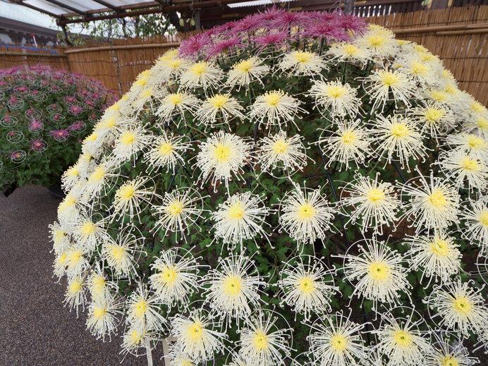 千輪仕立て。菊ももっと自由に咲きたいだろうとは思うものの、圧巻の美しさです