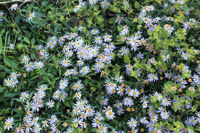 可憐な野菊は素朴に秋の野を彩ります