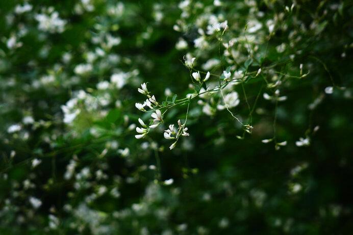 シラハギの花