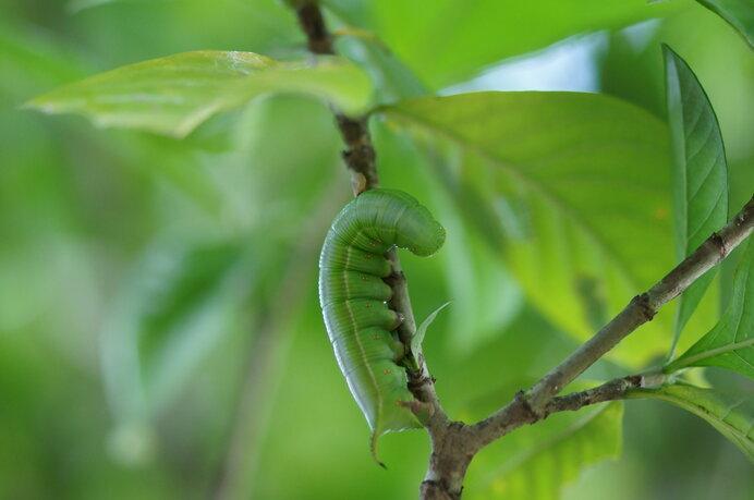 幼虫の食草はクチナシ。クチナシにとっては大害虫になります
