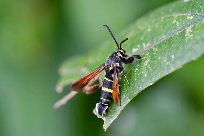 同じガの仲間のヒメアトスカシバが見せる見事なハチへの擬態