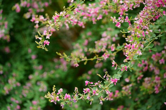 「おはぎ 」は、つぶあんの小豆を萩の花に見立てている
