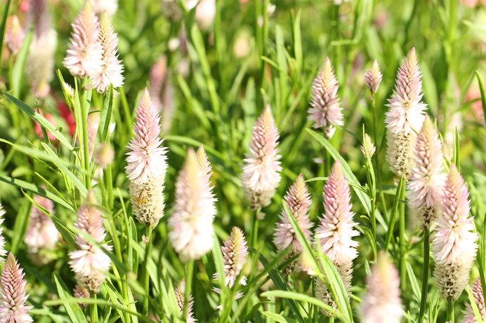 ケイトウの仲間の原種となるノゲイトウの素朴な花